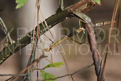 Common or Northern Walking Stick