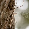 Western Short-Horned Walkingstick