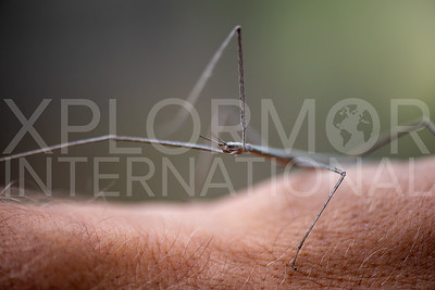 Short-horn Walkingstick