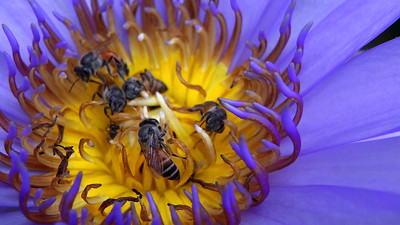 Eastern Honey Bees