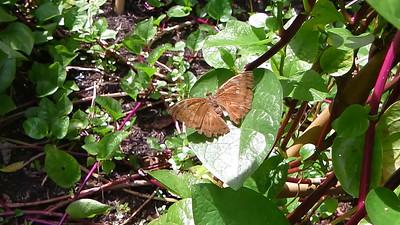 Butterflies of Laos