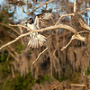 Migrating Osprey :