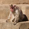 Ugly old monkey