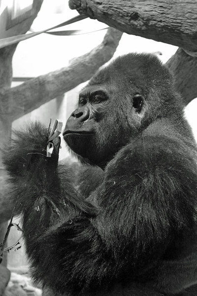 The Thinker<br /> You have to wonder what this gorilla at the Como Zoo is thinking...<br /> Taken in 2011