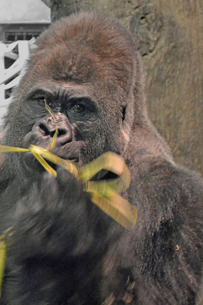 Sharing<br /> A gorilla at the Como Park Zoo offered me some of his straw.  Taken in late 2011.