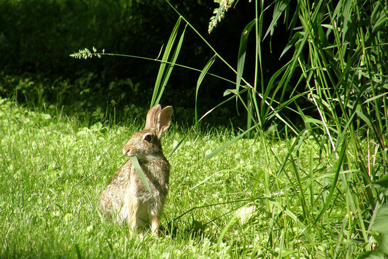 Rabbit Food<br /> Ac ottontail rabbit munching on some grass