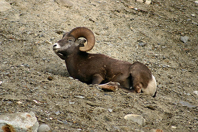 Big Horn Sheep, Ice fields Highway