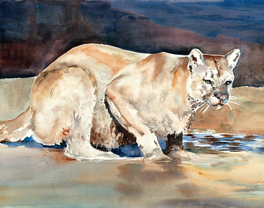 Cougar In Stream