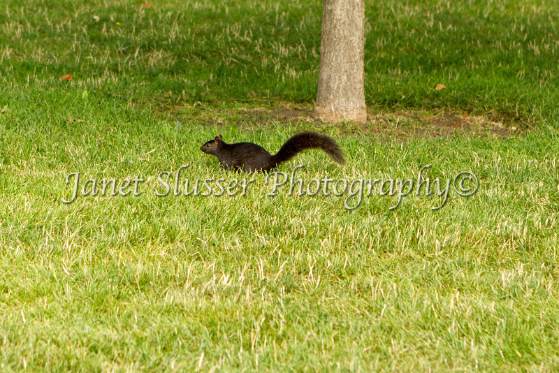 7-12-10_00103ec - Black squirrel in Queen Victoria Park, Toronto, Ontario, Canada