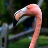 Flamingo_079
