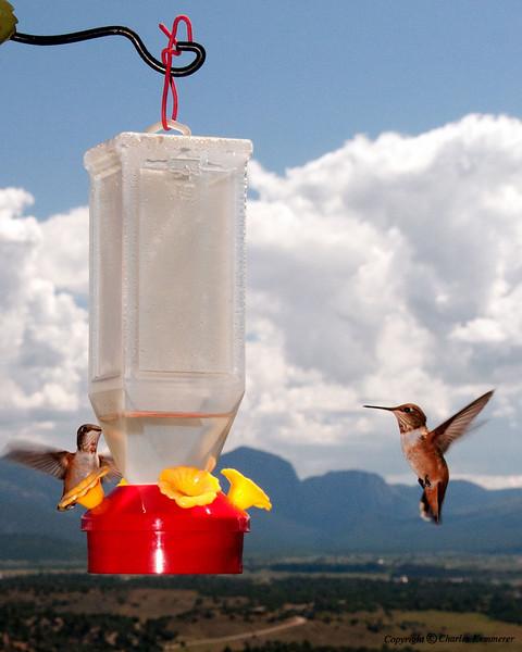 1008_106ChamaHummingbirds