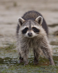 Raccoon searching for dinner in the mud