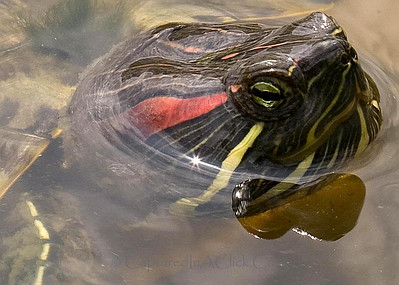 Red Slider Turtle