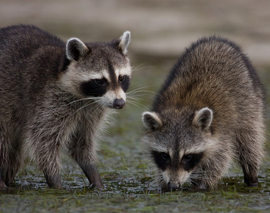 Raccoons searching for dinner in the mud