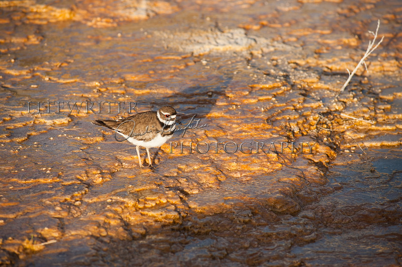 Yellowstone Kildeer