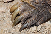 Snapping Turtle Claws<br /> The claws are very large.  This is a small snapping turtle with a shell about a foot long.  The claws were over 1 inch long.