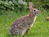 Rabbit in the Back Yard