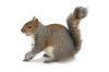 Squirrel on Snow
