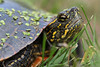 Painted Turtle Close Up - He was too tired to mind me getting up close and personal with the camera.
