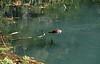 Diving.  A muskrat (?).<br /> <br /> Seen at Alley Spring, Missouri Ozarks.