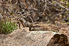 Riverside Walk, which starts at the Temple of Sinawava shuttle stop.<br /> Rock squirrel (Spermophilus variegatus)<br /> If you take the Riverside Trail and don't see at least one of these cheeky creatures, you weren't looking!<br /> <br /> Zion National Park,<br /> April 2008