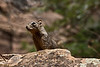 Rock squirrel at Zion NP