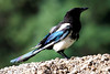 Another Black Billed Magpie in the town of Ophir.