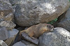 Marmot who had made his/her home in the rocks along Minnie Gulch