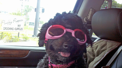 Disco's first time wearing her NEW DOGGLES.  Getting ready for her travels in the SIDECAR