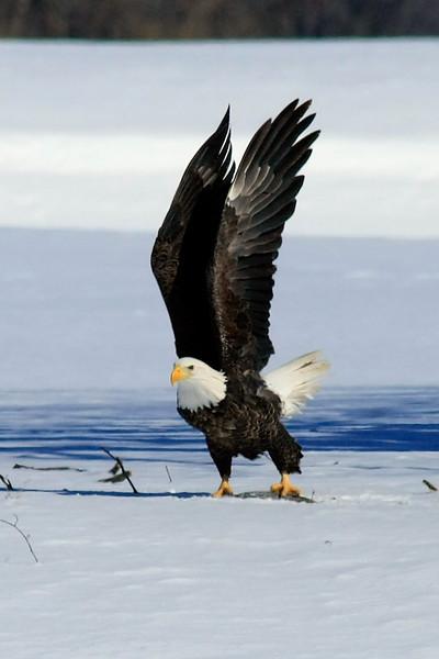 Taking off, fish in his left talon.