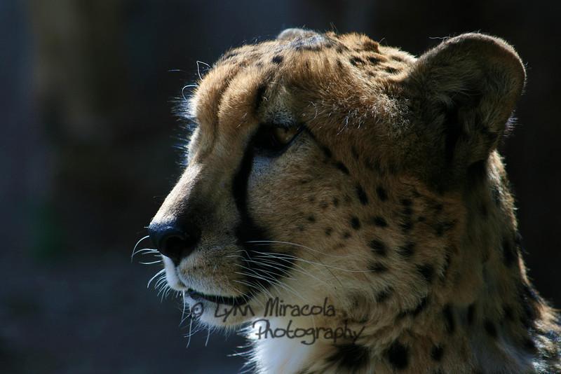 Cheetah<br /> 4/5/10