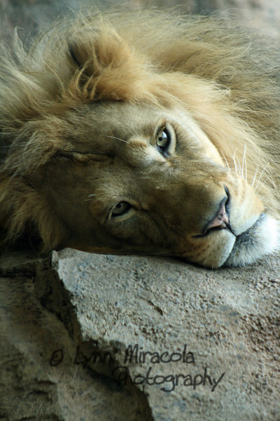 Lion 1<br /> 7/3/08