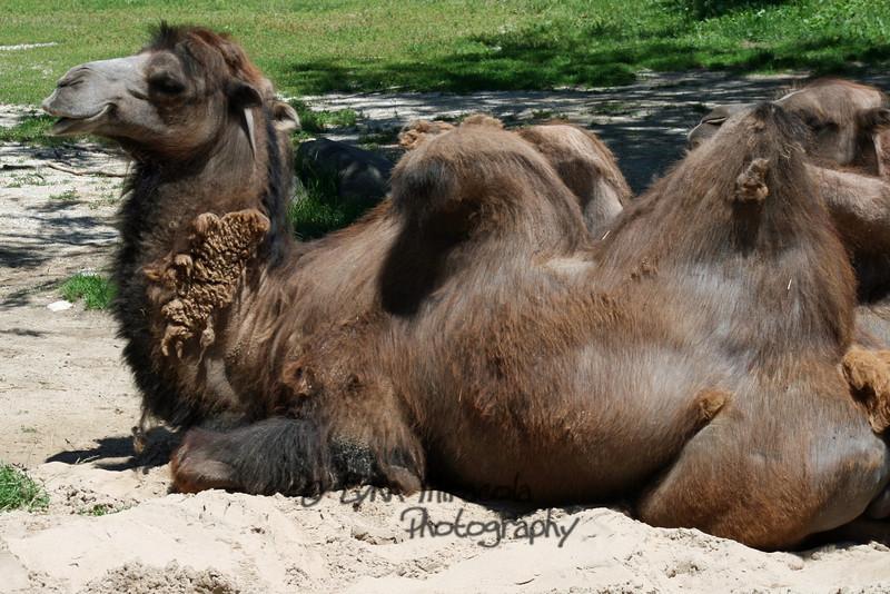 Camel<br /> 7/3/08