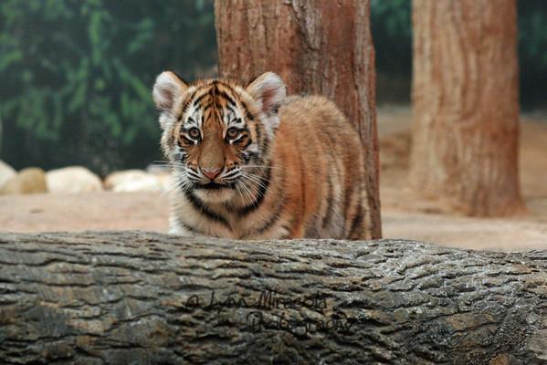 Tiger Cub 11/8/09
