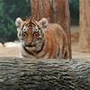 Tiger Cub<br /> 11/8/09