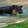 Tapir<br /> 7/15/11