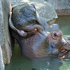 Hippo<br /> 7/3/08