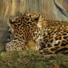 Jaguar<br /> 7/3/08