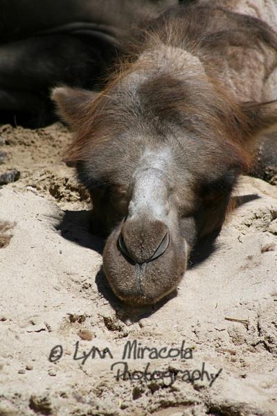 Camel face<br /> 7/3/08