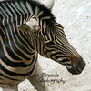 Zebra<br /> 7/15/11<br /> My first decent shot of this animal!  He's (or she?) is usually hiding out in the corner!
