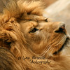 Lion 2<br /> 4/5/10