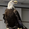 Injured Eagle 10 Feb 2018-4274