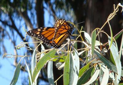 Monarch Butterflies at Natural Bridges State Park