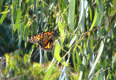 Monarch Butterflies at Natural Bridges State Park