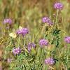Sulphurs on Rocky Mountain Bee Plant.