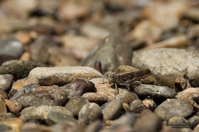 Carolina Grasshopper  Dissosteira carolina (Linnaeus)