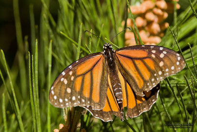 Monarch Butterfly (Danaus plexippus).  Monarch Butterflies cluster together on the pines and eucalyptus trees during their migration to overwinter in Monarch Grove Sanctuary, Pacific Grove, CA.