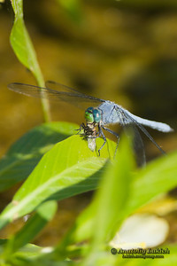 Eastern Pondhawk (Erythemis simplicicollis). Dragonfly eats fly for lunch.