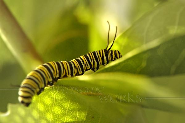 Monarch caterpillar on milkweed   [FxPmSh]