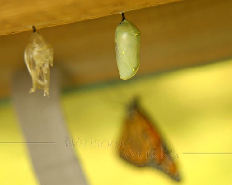 Monarch chrysalis     [FxPmSh]
